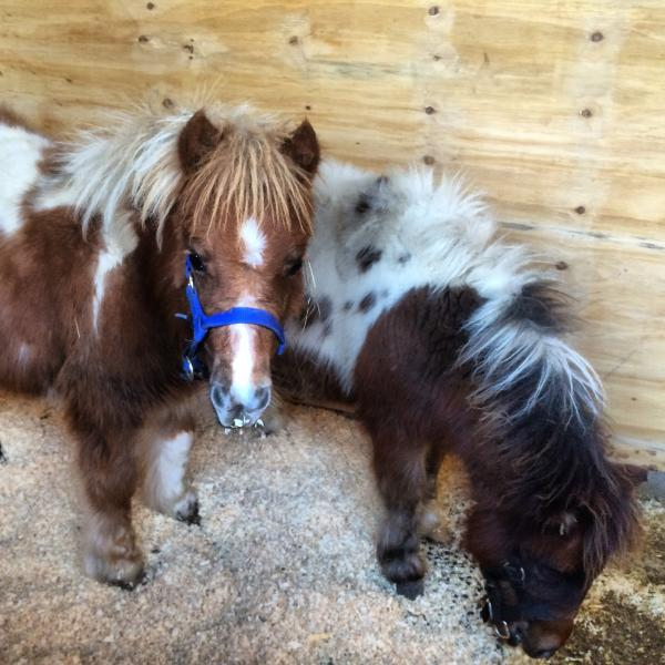 Meet our miniature  Shetland Ponies - Bobbin and Tilly Floss.