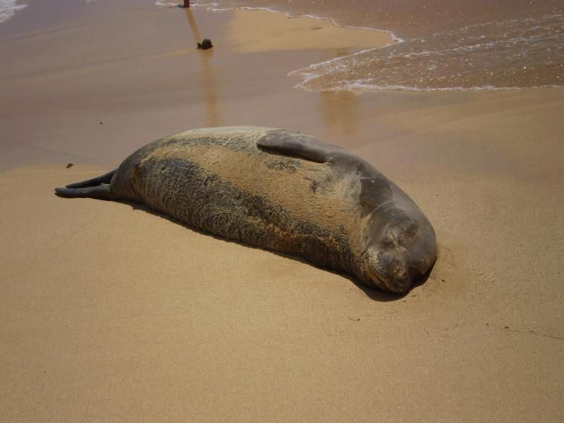 Hawaiian monk seal at Poipu Beach