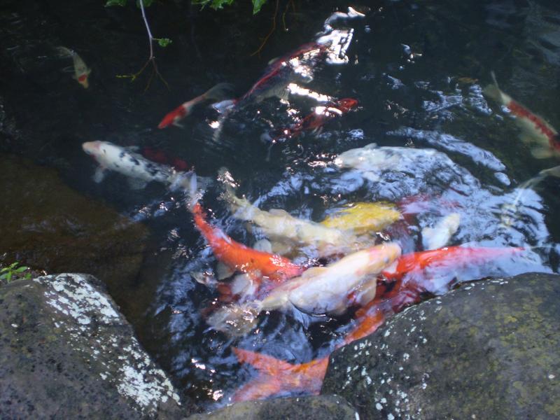 Waikomo's koi pond