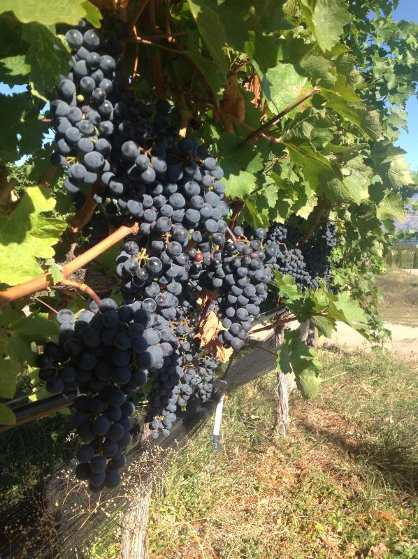 A fall visit is festive with the stomping of the grape festival.