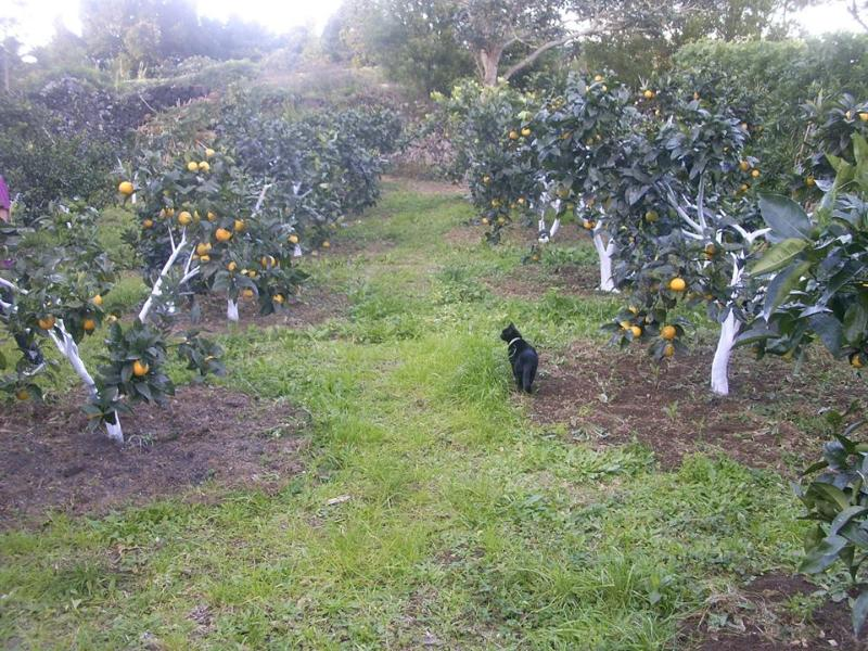 Orange trees and my cat in the backyard