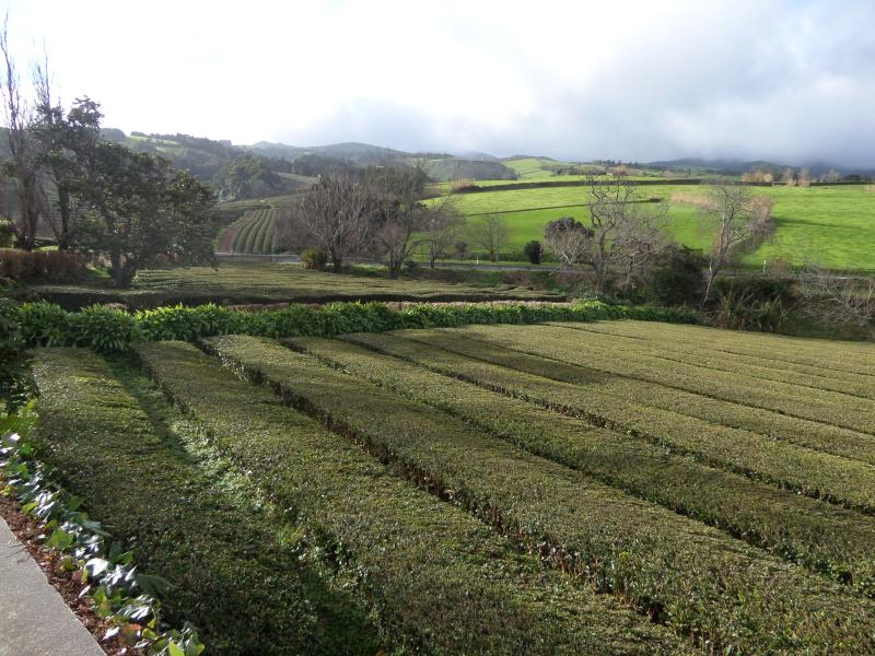 A tea plantation in Gorreana village, the only one of europe
