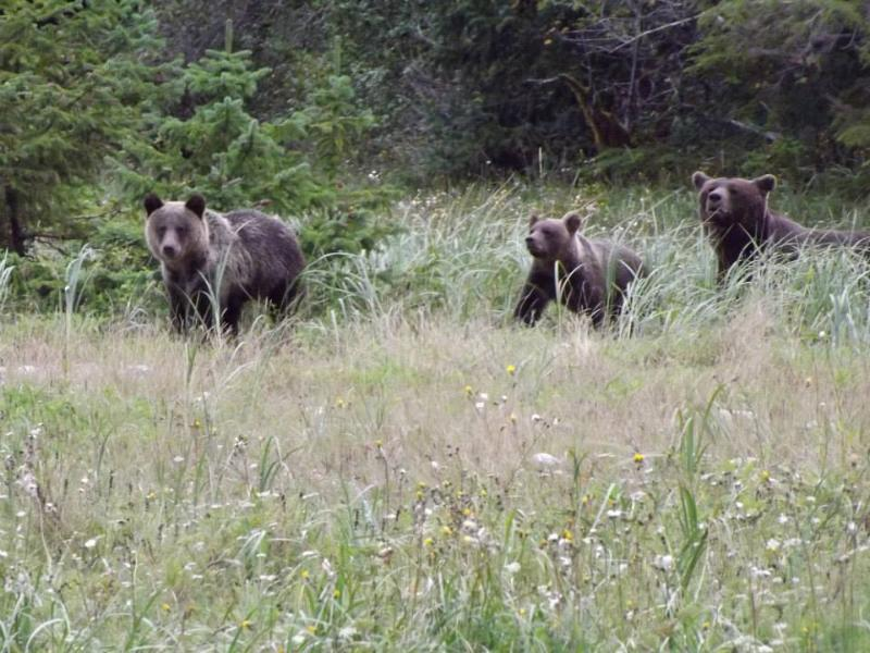 Bear cubs and sow our for a walk as seen from our bus tour.