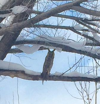 A visiting long eared owl!