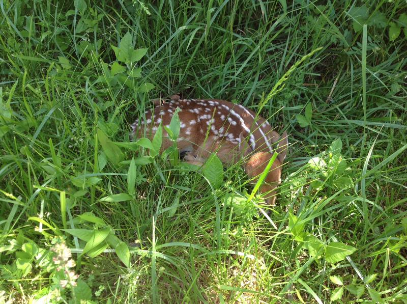 PRECIOUS FAWN SNOOZING IN WOODS