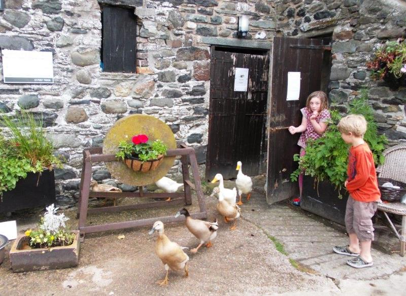 Letting the ducks out of their shed in the morning and egg collecting time
