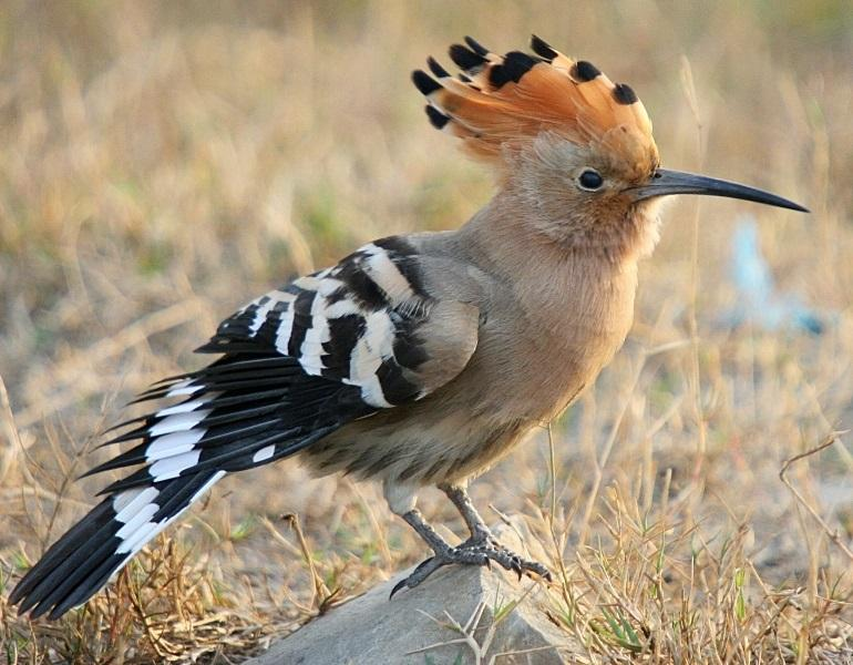 In the spring you'll also spot this visitor from Africa, the Hoopoe.