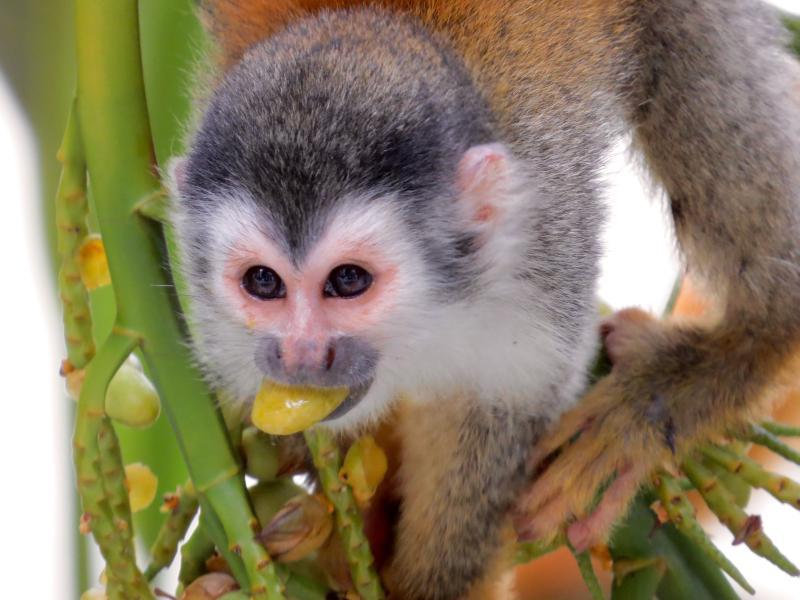 Squirrel Monkey feeding on tree near balcony of third bedroom
