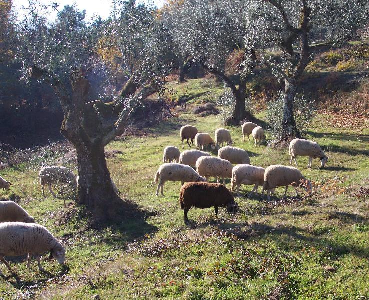 passerende schapen in het dorp