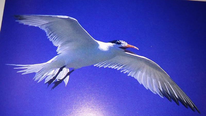 Enjoy Madeira Beach where nature abounds Elegant Tern seagull in flight over Gulf of Mexico