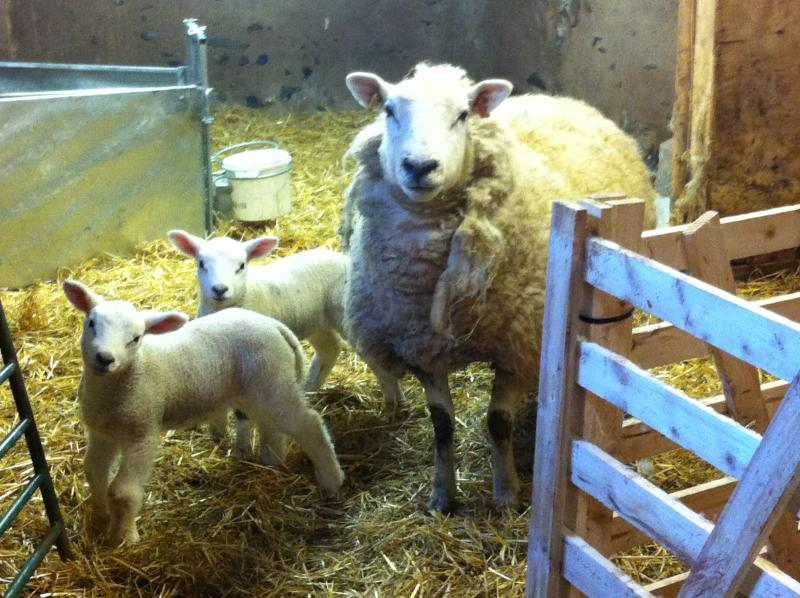 Lambing time on the farm