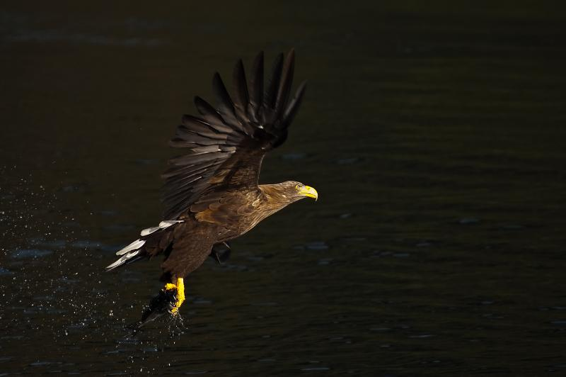Seaeagle catching a coalfish.