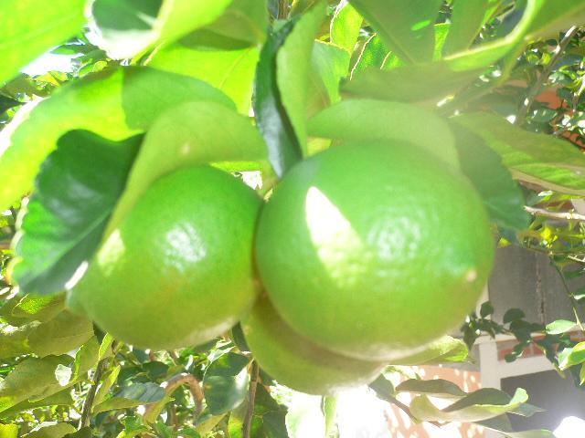 citrons du jardin