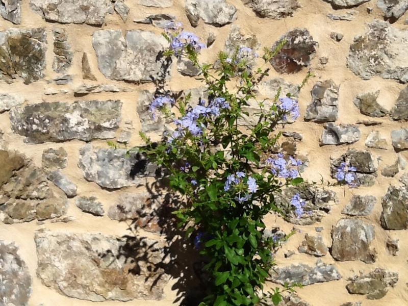 Il muro in pietra del casale i rampicanti immersi nel sole d'estate.