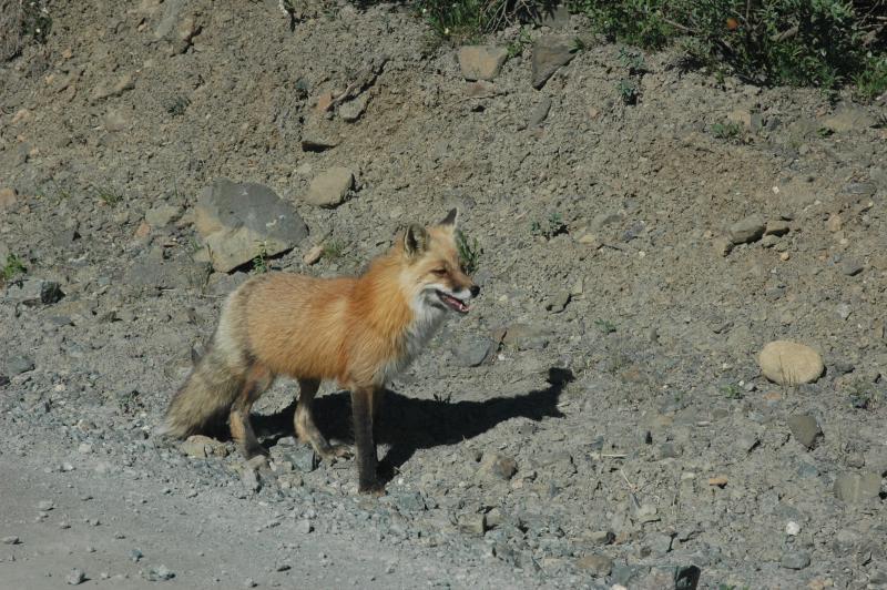 Lots of wildlife in our yard. Lots of Red Fox sightings.