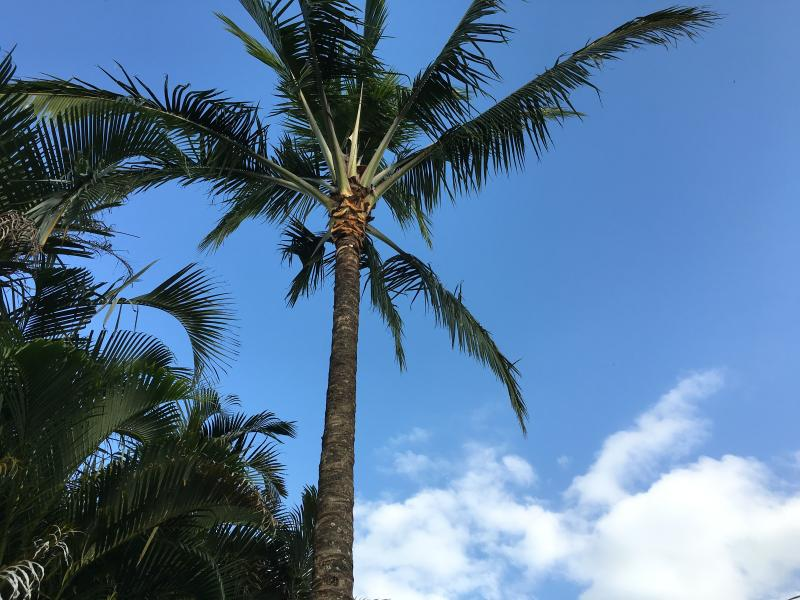 Paradise Palm Tree in front
