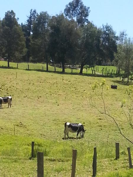 beatiful farm with free cows and trees