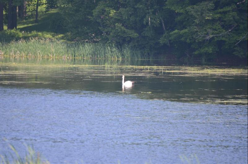 One of our 'resident swans' on the Black River