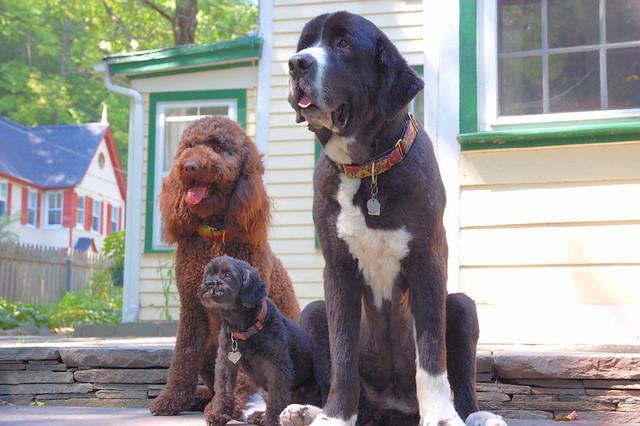 Three happy dogs