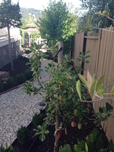The yard. We have baby fruit trees, olive trees and grape vines. We plant a garden for summer.