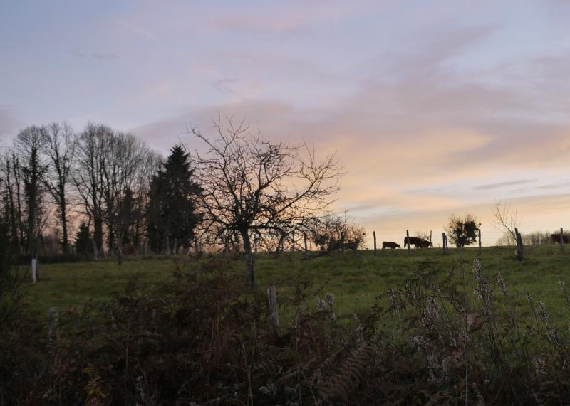 Sunset in the Charente - Limousine Cows