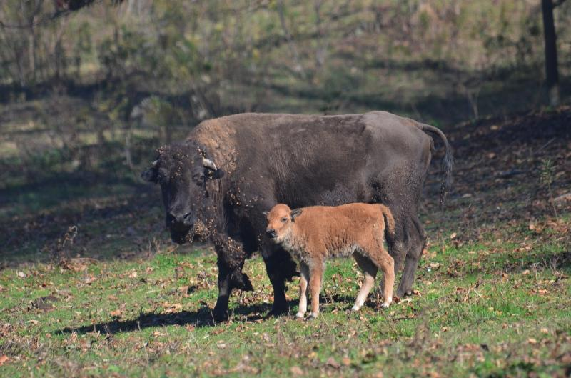 Mama bison & her calf.