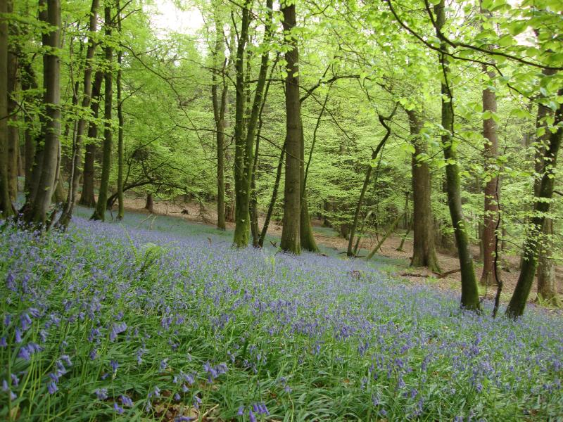Local area - bluebells in the Forest of Dean