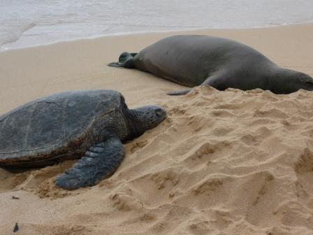 A Turtle checking out the resting Seal on the beach.