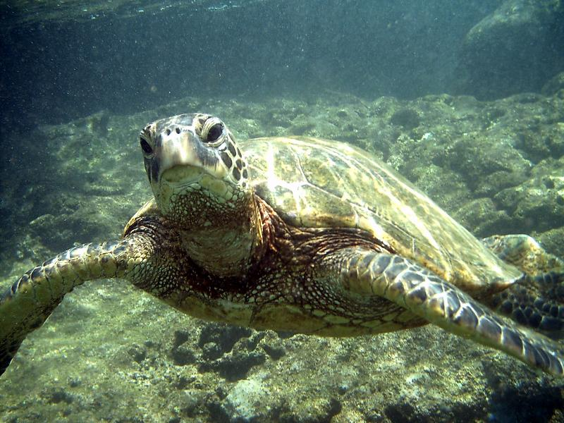 Local Honu (green sea turtle)
