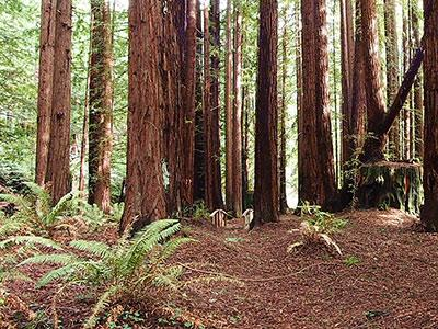 Sequoiatude, 1.46 acres of redwood forest