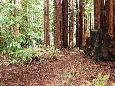 Sequoiatude, walk through your private forest