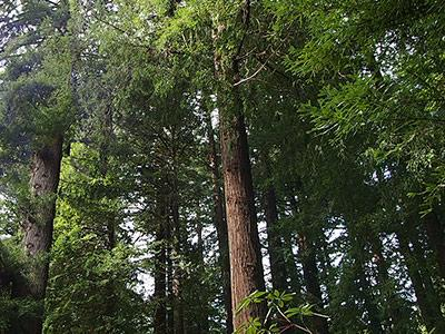 Sequoiatude, Redwood Canopy, Privacy and Peace