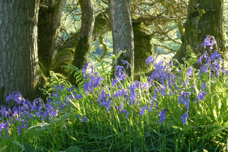 Springtime bluebells.