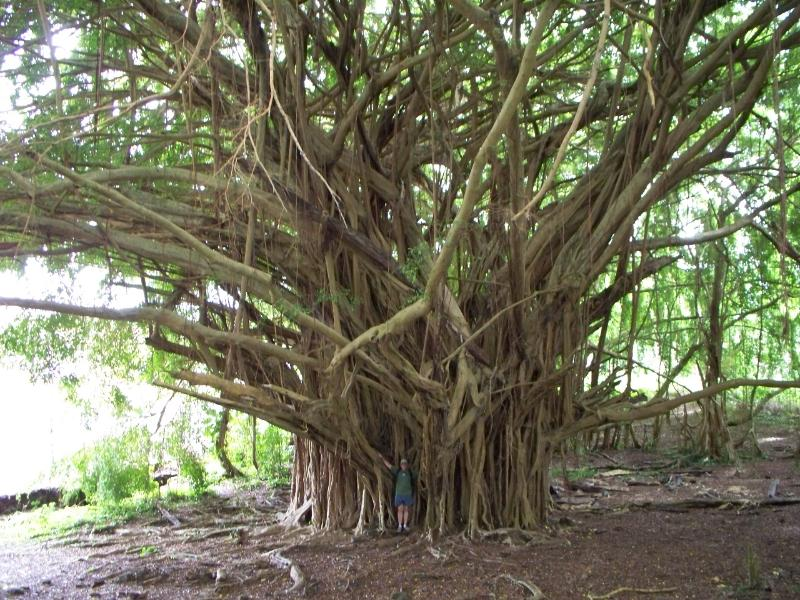 While at Rainbow falls walk up towards the falls and there is a beautiful banyan tree.
