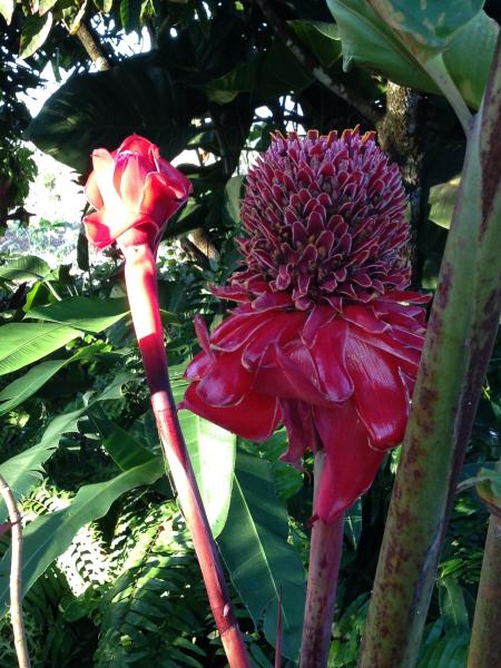 Red torch ginger on SANA