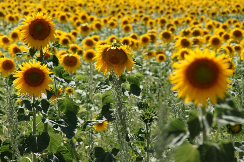 Sunflower fields are in abundance throughout this area.