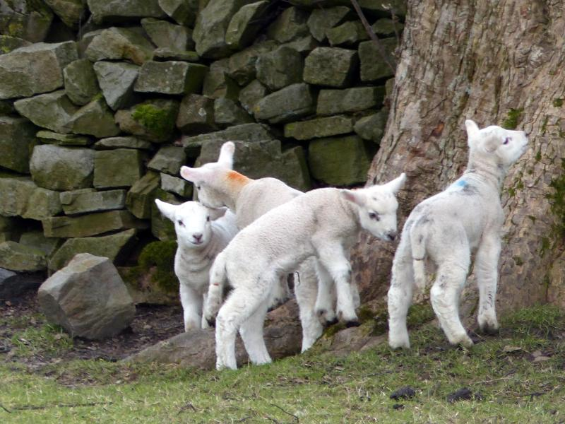 Spring lambs in the field  - a week old