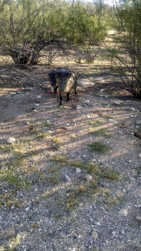 javelina come to visit !