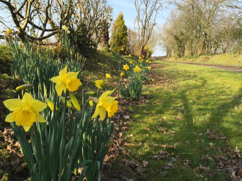 Spring has arrived!   Daffodils in bloom on Plas's private drive