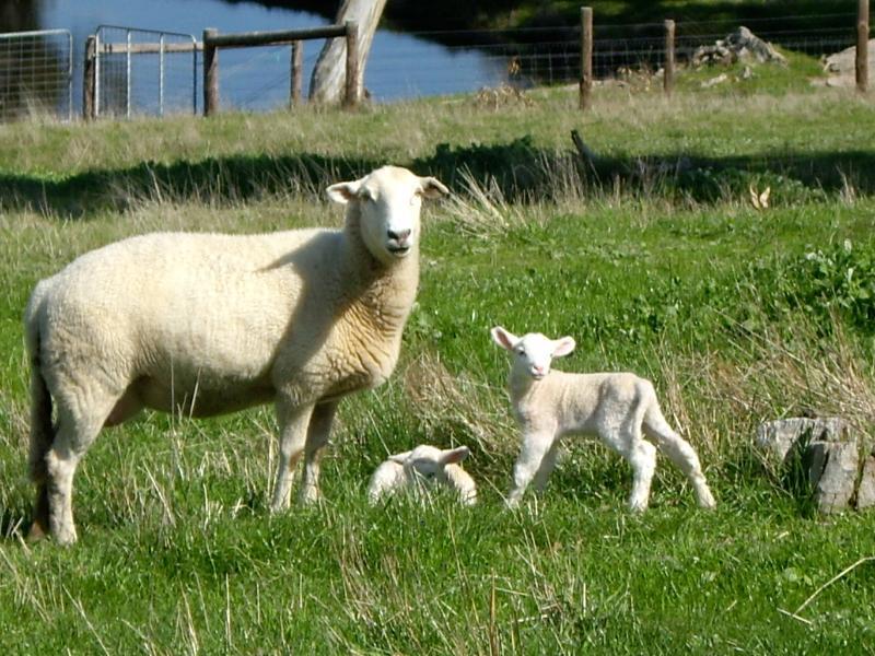 Sheep grazing in the paddocks