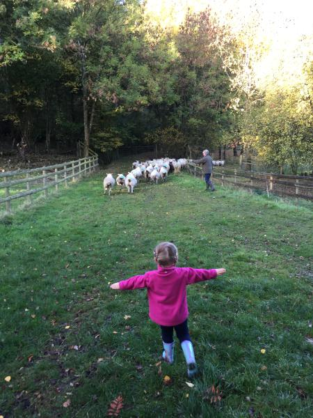 a young visitor helps move the sheep