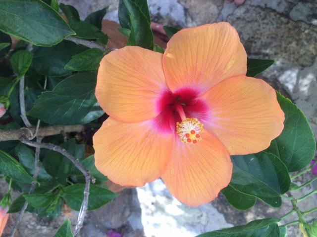 Hibiscus in back patio,  only lasts one day.