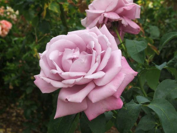 blue moon rose in the garden