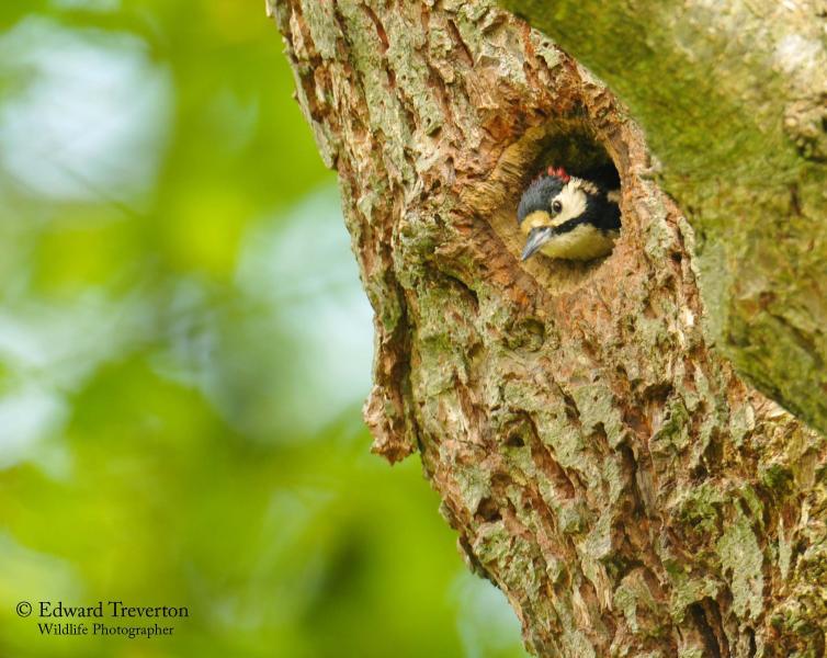 Wild birds - the woodpecker
