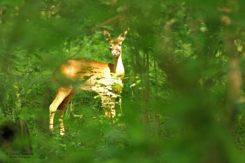 Roe deer in our woodlands