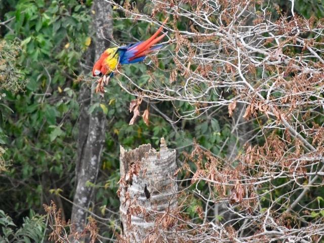 Currently viewable from your balcony is a nesting Scarlet Macaw