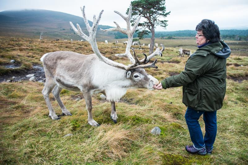 Feeding the Cairngorm Reindeer