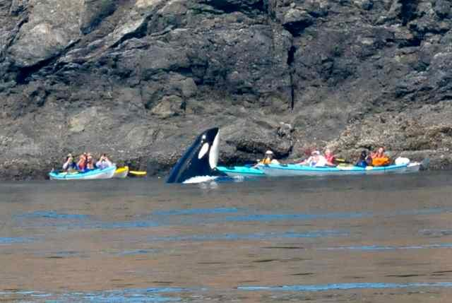 KAYAKERS EYE TO KEY WITH  AN ORCA!
