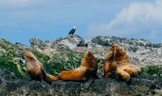 EAGLE AND SEA LIONS ON ROCKS OFF THE LIGHTHOUSE