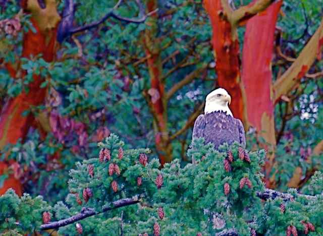 BALD EAGLE IN THE PARK